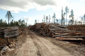 IKEA logging old-growth forest for low-price furniture in Russia